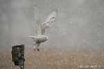 wildlife;snowy-owl;bubo-scandiacus;owl;raptor;bird-of-prey;marsh;Salisbury-Beach;MA;D4