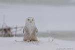 wildlife;snowy-owl;bubo-scandiacus;owl;raptor;bird-of-prey;marsh;Salisbury;MA;D4