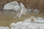 wildlife;snowy-owl;bubo-scandiacus;owl;raptor;bird-of-prey;snow;Salisbury;MA;D4
