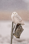 wildlife;snowy-owl;bubo-scandiacus;owl;raptor;bird-of-prey;snow;birdhouse;Salisbury;MA;D4