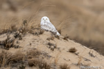 wildlife;snowy-owl;bubo-scandiacus;owl;raptor;bird-of-prey;beach;Hampton-Beach;NH;D4