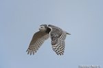 wildlife;snowy-owl;bubo-scandiacus;owl;raptor;bird-of-prey;flight;Hampton-Beach;NH;D4
