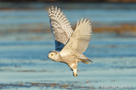 wildlife;snowy-owl;bubo-scandiacus;owl;raptor;bird-of-prey;marsh;Rye-Harbor;NH;D4