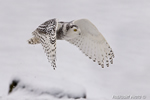wildlife;snowy-owl;bubo-scandiacus;owl;raptor;bird-of-prey;marsh;Hampton;NH;D800
