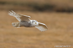 wildlife;snowy-owl;bubo-scandiacus;owl;raptor;bird-of-prey;marsh;Hampton-Beach;NH;D4