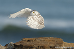 wildlife;snowy-owl;bubo-scandiacus;owl;raptor;bird-of-prey;rock;Rye-Harbor;NH;D4