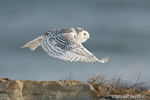 wildlife;snowy-owl;bubo-scandiacus;owl;raptor;bird-of-prey;coast;Rye-Harbor;NH;D4