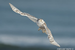 wildlife;snowy-owl;bubo-scandiacus;owl;raptor;bird-of-prey;ocean;Rye-Harbor;NH;D4