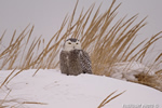 wildlife;snowy-owl;bubo-scandiacus;owl;raptor;bird-of-prey;snow;Seabrook;NH;D4