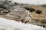 wildlife;snowy-owl;bubo-scandiacus;owl;raptor;bird-of-prey;snow;Rye-Harbor;NH;D4;800mm
