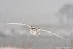 wildlife;snowy-owl;bubo-scandiacus;owl;raptor;bird-of-prey;snow;Rye-Harbor;NH;D4