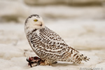 wildlife;snowy-owl;bubo-scandiacus;owl;raptor;bird-of-prey;snow;Rye-Harbor;NH;800mm