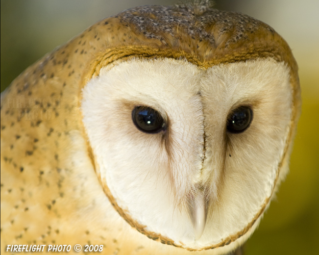 wildlife;owl;Tyto Alba;barn owl;raptor;bird of prey;raptor project;Wachusett Mountain;Maine