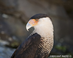 wildlife;raptor;bird-of-prey;Crested-CaraCara;Caracara-cheriway;head-shot;Mexican-Eagle;Raptor-Project;Catskill;NY