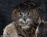 wildlife;owl;Eurasian-Eagle-Owl;Bubo-bubo;raptor;bird-of-prey;raptor-project;Catskill-Mountains;NY;New-York