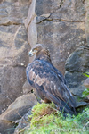 wildlife;golden-eagle;Aquila-Chrysaetos;eagle;raptor;bird-of-prey;catskill-mountains
