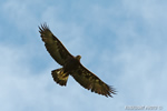 wildlife;golden-eagle;Aquila-Chrysaetos;eagle;raptor;bird-of-prey;montana
