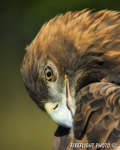 wildlife;golden-eagle;Aquila-Chrysaetos;eagle;raptor;bird-of-prey;raptor-project;Wachusett-Mountain;Maine;head-shot