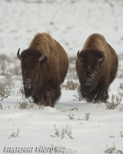 Wildlife;Bison;Bison Bison;snow;yellowstone np;wyoming