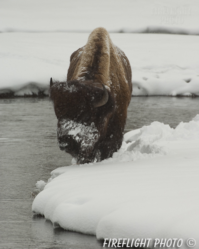 Wildlife;Bison;Bison Bison;snow;river;yellowstone np;wyoming