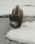 Wildlife;Bison;Bison-Bison;snow;river;yellowstone-np;wyoming
