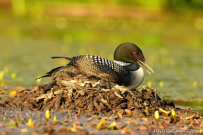 Common loon;loon;Gavia immers;Northern NH;NH;chick;baby;egg;Nest;D5