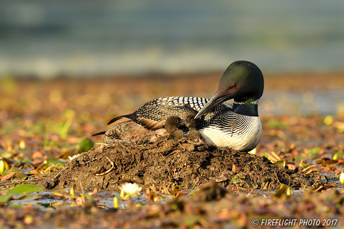 Common loon;loon;Gavia immers;Northern NH;NH;chick;baby;babies;kiss;kissing;Nest;D5