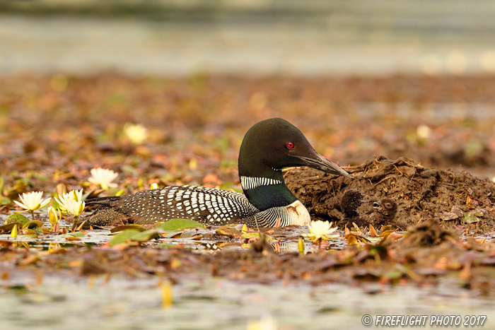 Wildlife;Common loon;loon;Gavia immers;nest;baby;babies;Sugar Hill;NH;D5