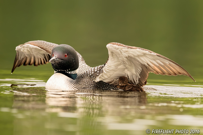 Common loon;loon;Gavia immers;baby;wing stretch;Northern NH;NH;Loon Dance;D4