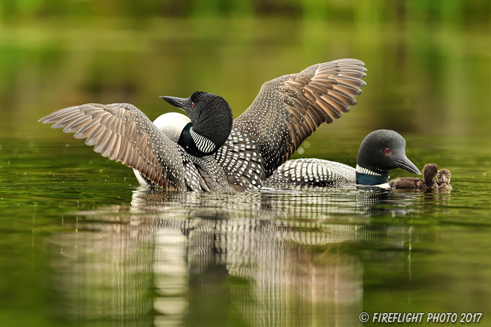 Common loon;loon;Gavia immers;Northern NH;NH;chick;baby;babies;family;kiss;D5