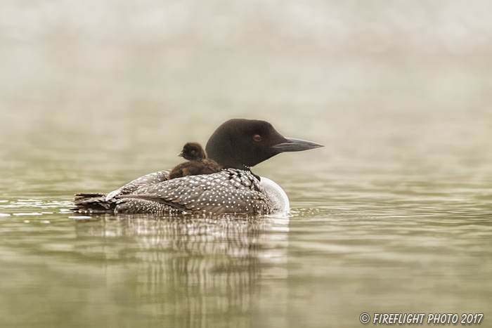 Common loon;loon;Gavia immers;Northern NH;NH;chick;baby;fog;back;D5