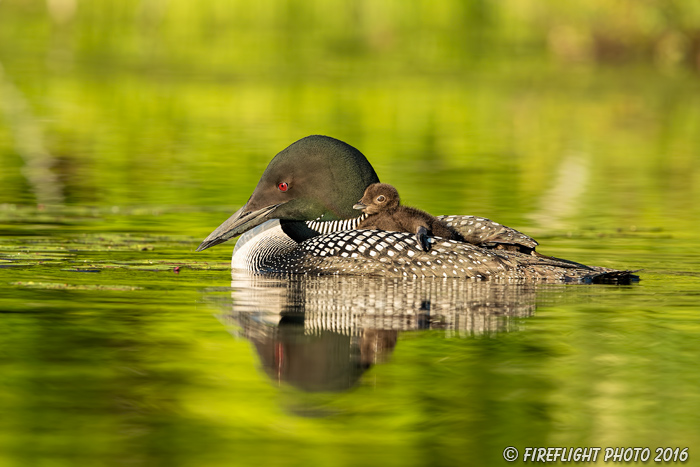 Common loon;loon;Gavia immers;baby;reflection;Sugar Hill;NH;pond;NH;D5
