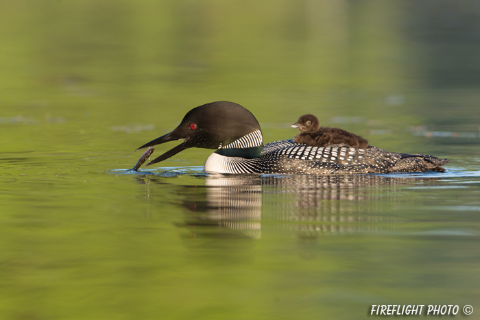 Common loon;loon;Gavia immers;baby;fish;reflection;Littleton;NH;sunrise;NH;D4