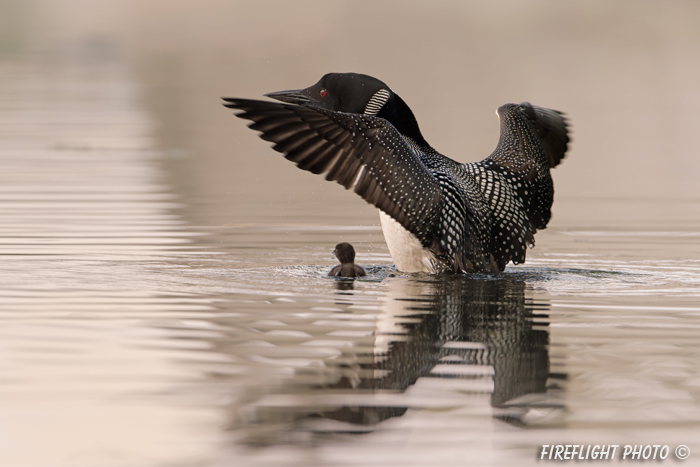 Common loon;loon;Gavia immers;baby;reflection;Littleton;NH;Loon Dance;NH;D4