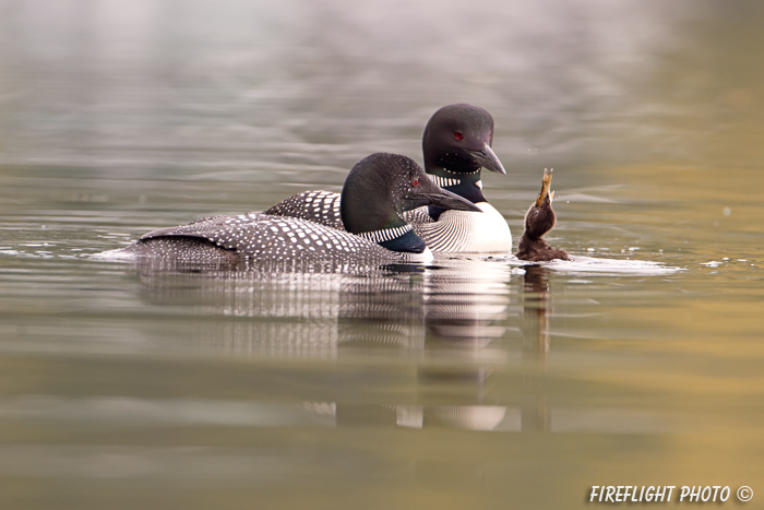 Common loon;loon;Gavia immers;fish;baby;reflection;Littleton;NH;sunrise;NH;D4