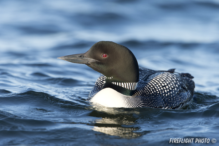 Common loon;loon;Gavia immers;Squam Lake;Lakes Region;Holderness;NH;D4