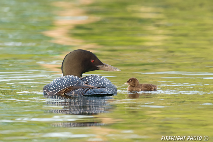 Common loon;loon;Gavia immers;Squam Lake;Lakes Region;chick;baby;Holderness;NH;D4s