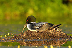Wildlife;Common-loon;loon;Gavia-immers;nest;eggs;Sugar-Hill;NH;Sitting;Sunset;D5