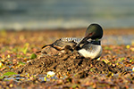 Common-loon;loon;Gavia-immers;Northern-NH;NH;chick;baby;babies;kiss;kissing;Nest;D5