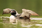 Common-loon;loon;Gavia-immers;baby;wing-stretch;Northern-NH;NH;Loon-Dance;D4