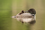 Common-loon;loon;Gavia-immers;Northern-NH;NH;chick;baby;kiss;love;D5