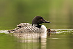 Wildlife;Common-loon;loon;Gavia-immers;pond;chick;baby;Sugar-Hill;NH;Sunset;D5