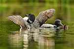 Common-loon;loon;Gavia-immers;Northern-NH;NH;chick;baby;babies;family;kiss;D5