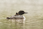 Common-loon;loon;Gavia-immers;Northern-NH;NH;chick;baby;fog;back;D5