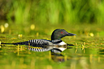Common-loon;loon;Gavia-immers;Northern-NH;NH;water;green;sunset;lily;D5