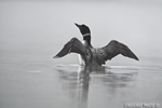 Common-loon;loon;Gavia-immers;fog;reflection;Littleton;NH;Loon-Dance;NH;D4
