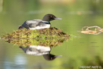 Common-loon;loon;Gavia-immers;nest;reflection;Littleton;NH;sunrise;NH;D4