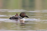 Common-loon;loon;Gavia-immers;baby;reflection;Littleton;NH;Partridge-Lake;NH;D4