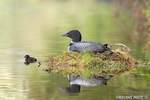 Common-loon;loon;Gavia-immers;baby;reflection;Littleton;NH;nest;NH;D4