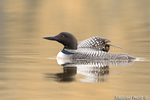 Common-loon;loon;Gavia-immers;baby;reflection;Littleton;NH;sunrise;NH;D4